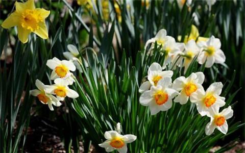 3月7日生日花语:野生水仙花,3月7日是什么星座?