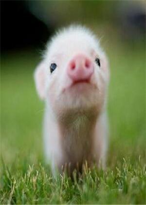 属猪人起名禁忌,生猪宝宝的准父母需要注意了