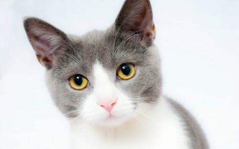 四大血型人是哪种猫?A型高冷如波斯猫