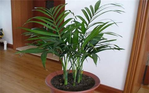凤尾竹的风水作用,有效改善家庭运势
