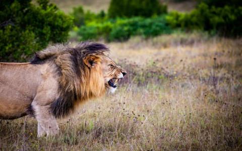 梦见被狮子追到处躲藏,少了些直面困难的勇气