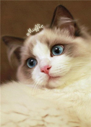 你最适合养哪种猫?布偶还是波斯?
