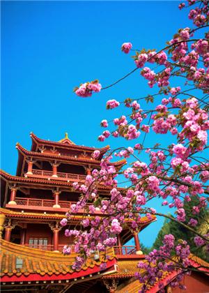國內櫻花哪里最好看?武大櫻花最知名
